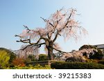 ancient cherry blossom tree at Kyoto, Japan - stock photo