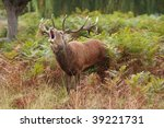 majestic stag braying wild red... | Shutterstock . vector #39221731