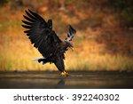 White Tailed Eagle  Haliaeetus...