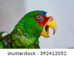 Small photo of White-fronted Amazon, Amazona albifrons, Spectacled Amazon, White-fronted Parrot, smallest Amazon Parrot, native to Central America.