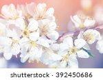 spring apple blossom  flowers... | Shutterstock . vector #392450686