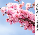 Pink Flowering Plum Blossoms ...