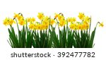 bright yellow daffodils on...   Shutterstock . vector #392477782