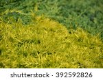 Small photo of Thuja hedge - American Arborvitae, evergreen tree. Coniferous background