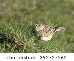 Small photo of Alaudidae in the fly