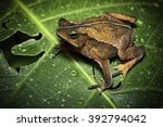Small photo of tropical toad from Amazon rain forest in Bolivia, Brazil Peru And Ecuador, Rhinella typhonius. A beautiful amphibian and frog of the Amazonian rainforest.