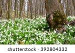 Carpet Of Snowdrops  Galanthus...
