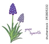 simple vector muscari plant... | Shutterstock .eps vector #392805232