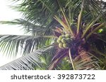 young coconut on tree | Shutterstock . vector #392873722