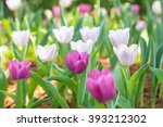 tulip beautiful flowers | Shutterstock . vector #393212302