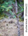 Small photo of Green mamba on a branch