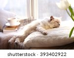 Stock photo color point cat lying on pillow near the window in living room 393402922
