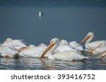 Pelicans Lake Chapala Jalisco...