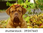 Portrait Of A Mastiff From...