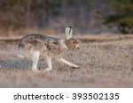 Stock photo arctic hare changing its fur from winter to summer plumage 393502135