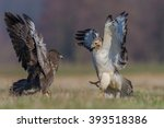 common buzzard fighting in the... | Shutterstock . vector #393518386