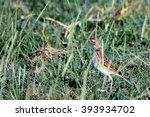 Small photo of African pipit, Amboseli National Park, Kenya