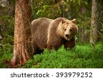 Brown Bear Walking Free In The...