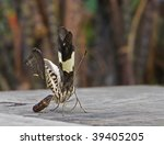 An eclosing butterfly - stock photo
