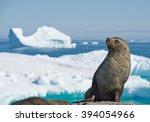 Antarctic Fur Seal Resting On...