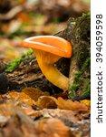 Jack O'lantern Mushroom ...