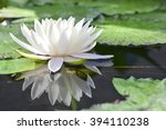 The White Lotus Or Water Lilie...
