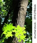 Small photo of Norway mapple (Acer platanoides) leaves in the sun spot in the summer forest