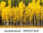 Stand Of Changing Yellow Aspen...