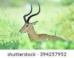 antelopes   african wildlife... | Shutterstock . vector #394257952