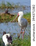 Small photo of African spoonbill, Amboseli National Park, Kenya