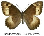 Small photo of Rock Grayling butterfly (Hipparchia alcyone) isolated on white background