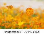 yellow flower of cosmos blossom ... | Shutterstock . vector #394431466