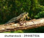 A Close Up Of A Cicada  Tibice...