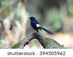 white rumped shama from thailand | Shutterstock . vector #394505962