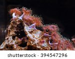 Small photo of Anemone actiniaria underwater looks like a flower.