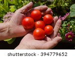tomatoes in hands | Shutterstock . vector #394779652