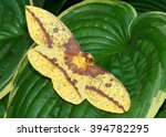 Giant Silk Moth, Eacles imperialis, the Imperial Moth, at rest on hydrangeas
