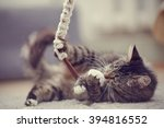 Stock photo the beautiful striped domestic cat plays with a toy 394816552