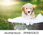 Stock photo adorable cute pupppy goldern retriever puppy taking a bubble bath 394841815