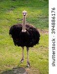 Cute African Ostrich Walking I...