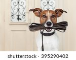 Stock photo jack russell dog waiting a the door at home with leather leash in mouth ready to go for a walk 395290402