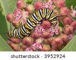 A Monarch Caterpillar Is...