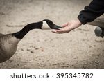 canada goose eating out of hand | Shutterstock . vector #395345782