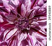 Motley lilac pion flower - stock photo
