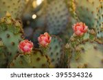 Desert Cactus Blooming Flowers