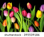 Colorful Tulips Isolated On...