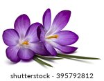 Purple Flowers Of Crocus ...