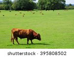 Cattle Graze In A Green Field
