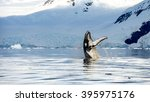 Hampback Whale Breaching...