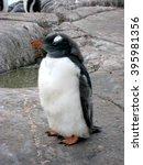 Solo Penguin Majestic ...